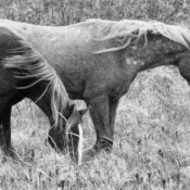 Black and white photo of horses.