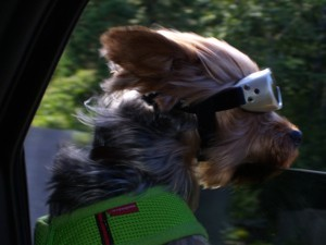 A dog with goggles on.