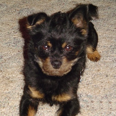 A yorkie poo laying on the carpet.