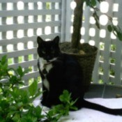 Samara (Tuxedo Cat)