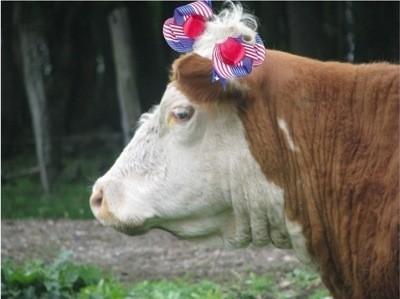 Patriotic Cow