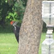 Woodpecker on tree.