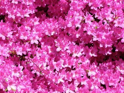 Bright pink azalea flowers