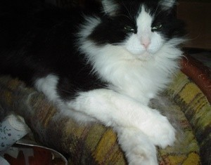 Black and white long haired cat.
