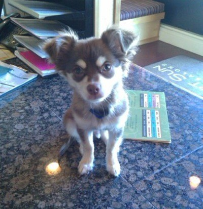 Fender (Long Haired Chihuahua)