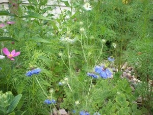 Nigella with cosmos in background.