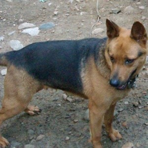 Dog with Shepherd color but shorter legs.