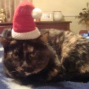 Tortie in Santa hat.