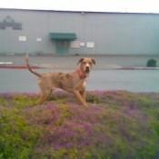Mojo on leash.