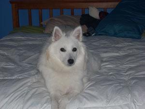 White dog on bed.