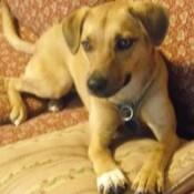 Tan dog with white feet.