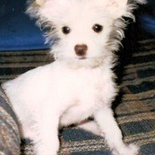 White dog.