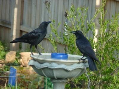 ravens on birdbath
