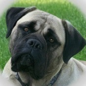 Buff and Black Bullmastiff dog with Grass in the background.