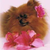 Red Pomeranian surrounded by pink flowers.
