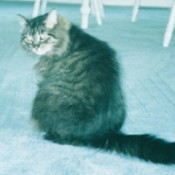 Diana (Striped Tabby)