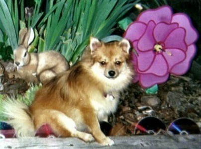Pomeranian sitting in a garden.