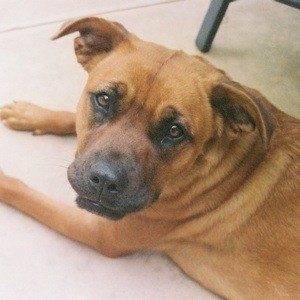 Closeup of brown dog.