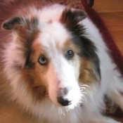 In Memory Of Spencer (Sheltie)