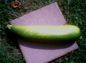 A giant homegrown zucchini