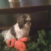 Roxxy (Shih Tzu) - Black and white dog with stuffed Elmo doll.