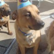 Jax wearing a birthday hat.
