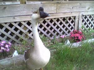 Large white goose.