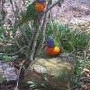 Two colorful lorikeets at a zoo.