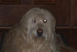 Shaggy dog.