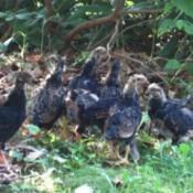 Dark younger chickens.