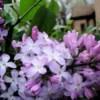 Garden: Lilac