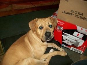 Tan dog with Lab like ears.