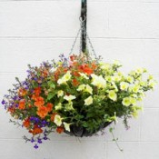 Mixed flower hanging basket.