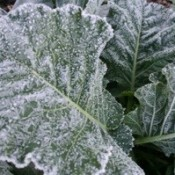 frosted leaves