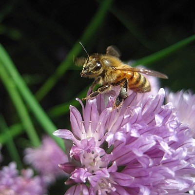 Honeybee on a Flower