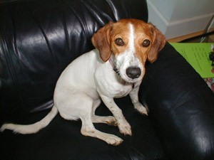 jack russell terrier and beagle mix