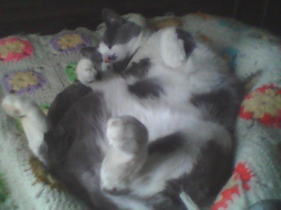 Calico Mo (Short Hair Cat)