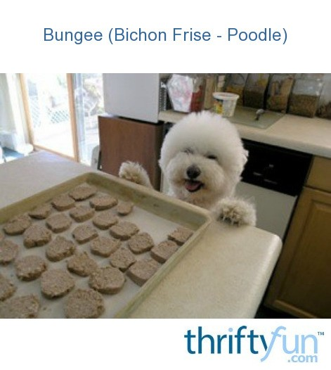 Bungee (Bichon Frise - Poodle) | ThriftyFun