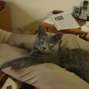 A grey cat sitting on someone's lap.