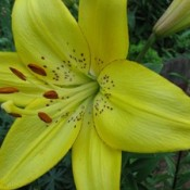 Closeup of yellow lily.