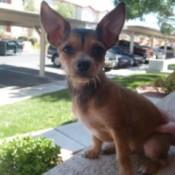 Teddy Bear (Chihuahua)