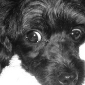 Mickey (Toy Poodle)