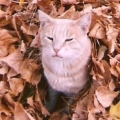 A ginger tabby in a pile of leaves.