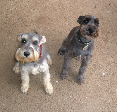 with another Schnauzer