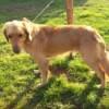 blond dog