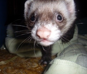 Azazel (Canadian Ferret)