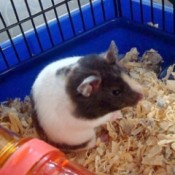 black, white, and tan hamster