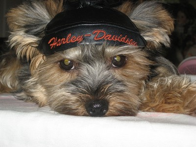 A yorkie wearing a Harley Davidson hat.