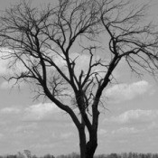 Black and white photo f bare limbed tree.