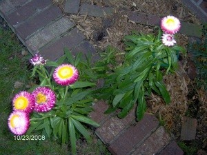 Pink and white multipetaled flowers.